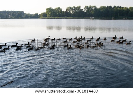 family of ducks floating at pond - stock photo