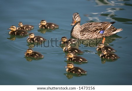 Family of ducks in the water - stock photo