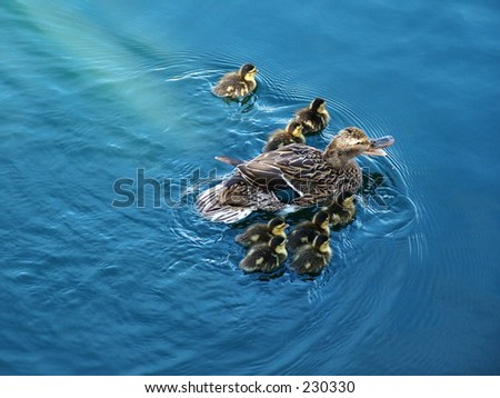Family of ducks, mother Mallard and eight ducklings - stock photo