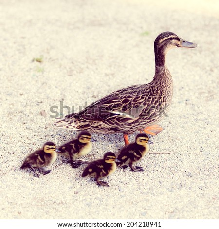 Family of ducks  with a instagram filter - stock photo
