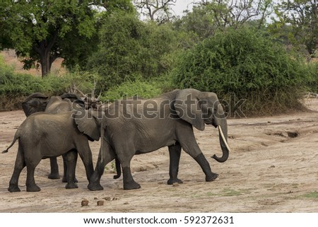 Family of elephants crossing the Chobe National Park, Botswana
