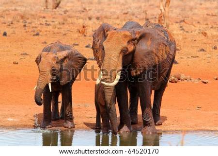 Family of elephants drinking at a pool - stock photo