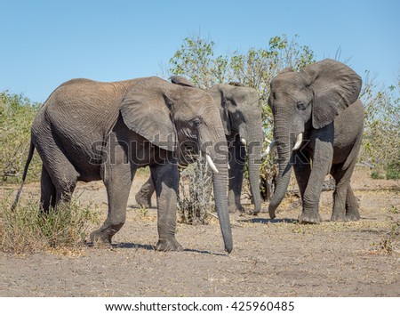 Family of elephants from the vast herds grazing in african savannah in the National Park Chobe - Botswana, , South-West Africa - stock photo