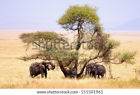 family of elephants shelter for the sun under a tree - stock photo