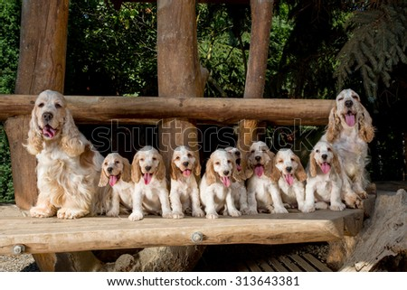family of English Cocker Spaniel with small puppy, outdoor in sunny day - stock photo