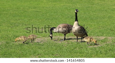 Family of Five - A family of Canadian geese grazing in a field. - stock photo