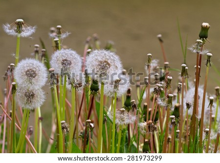 Family of fluffy dandelions on a field. - stock photo
