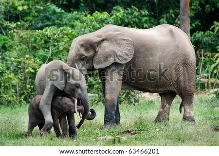 Family of forest Elephants. The African Forest Elephant (Loxodonta cyclotis) is a forest dwelling elephant of the Congo Basin.