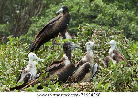 FAMILY OF FRIGATE BIRDS ON ISLA LA PLATA, ECUADOR   - stock photo