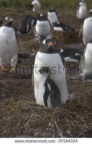 Family of gentoo penguins (Pygoscelis papua) at their nest at Sea Lion Island, Falkland Islands - stock photo
