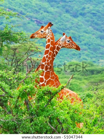 Family of giraffes spotted in the woods of Kenya. Africa - stock photo