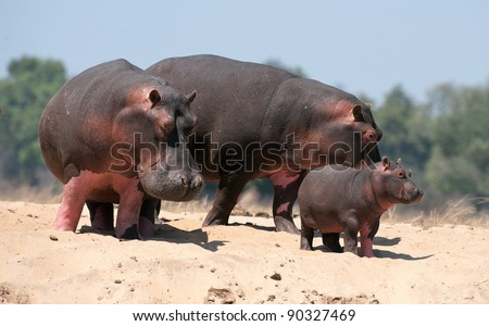 Family of hippopotamuses on sandy coast at the river. Zambia. Africa