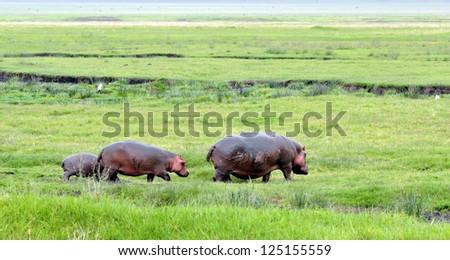 Family of hippopotamuses walking around. Zambia. Africa - stock photo