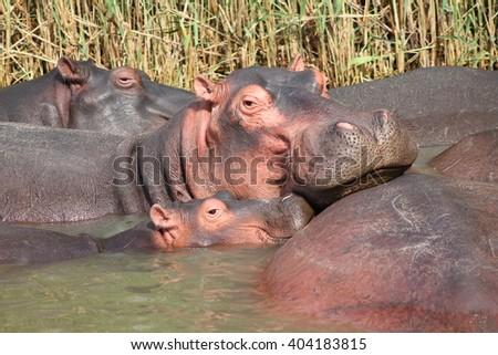 Family of hippos on lake - stock photo