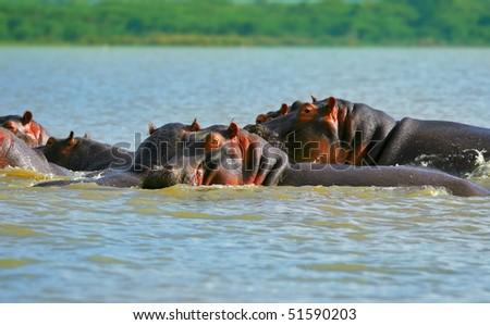 Family of hippos on lake Naivasha. Africa. Kenya - stock photo
