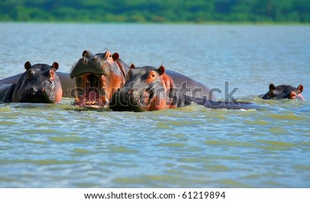 Family of hippos on lake Naivasha. Africa. Kenya - stock photo