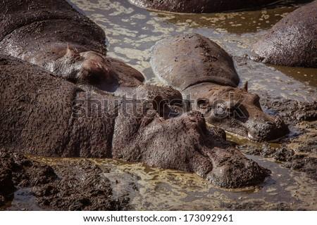 Family of hippos relaxes - stock photo