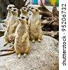 Family of Meerkats - stock