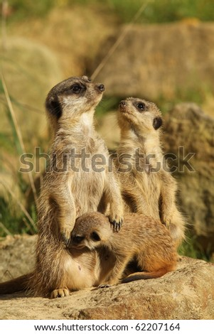 Family of meerkats with baby - stock photo