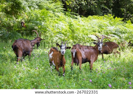 Family of mountain goats in the Pyrenees - stock photo