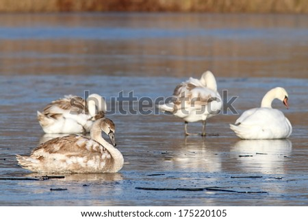 family of mute swans  ( cygnus olor ) on frozen lake during migration - stock photo