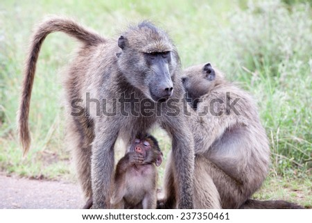 Family of Olive Baboon on the road. South Africa, Kruger National Park.