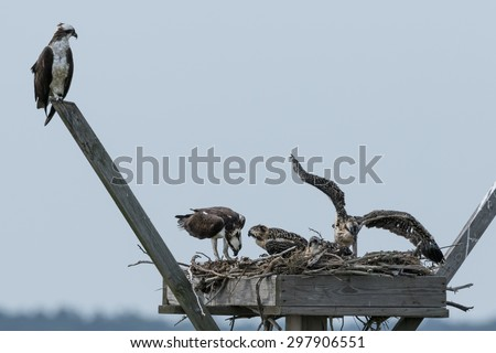 Family of Osprey On The Nest - stock photo