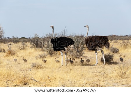 Family of Ostrich with chicken, Struthio camelus, in Etosha Park, Oshana Namibia, South Africa, true wildlife photography - stock photo