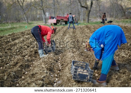 Family of peasants planting potatoes into plowed soil - stock photo