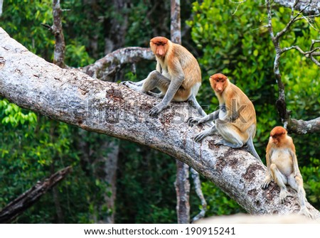 Family of Proboscis Monkeys in a tree - stock photo