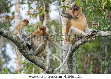 Family of Proboscis Monkeys in a tree.Proboscis Monkey (Nasalis larvatus) sitting on a tree in the wild green on Borneo, Indonesia. - stock photo