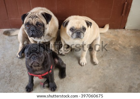 Family of pug dog sitting to guard house in front wooden door.(?Black puppy pug dog sitting in front two fawn pug dog.) - stock photo