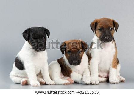 Family of purebred puppies smooth coat fox terrier, photographed large on a gray background. Hunting dog.
