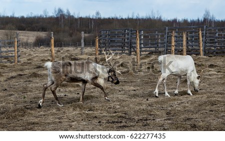 Family of reindeers in the pasture, eating the lichen