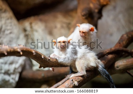 family of small white silvery Marmoset on branch