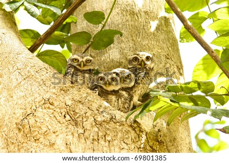 Family of spotted owlet. - stock photo