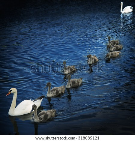 Family of swans. Mother, father and eight young. - stock photo