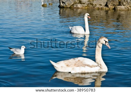 Family of swans, two adults and the child