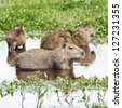 Family of the capybara in the El Cedral - Los Llanos, Venezuela, Latin America - stock photo