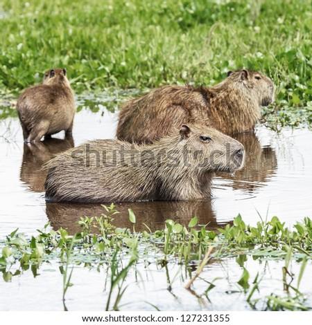 Family of the capybara in the El Cedral - Los Llanos, Venezuela, Latin America - stock photo
