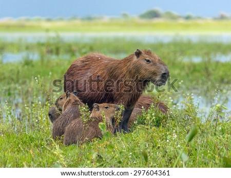 Family of the capybara in the El Cedral - Los Llanos, Venezuela, South America - stock photo