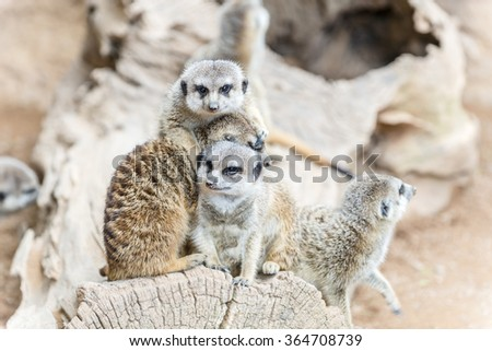 Family of the South African Meerkat (Suricate) - stock photo
