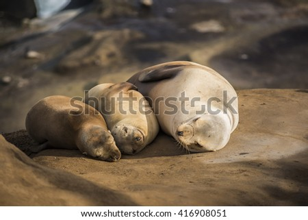 Family of three light, small sea lions sleeping in the sun on a rocky beach in San Diego, California in La Jolla cove - stock photo