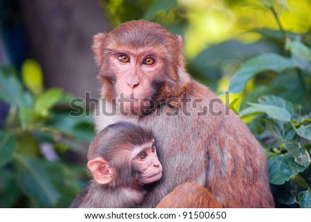 family of two chimp in lush foliage - stock photo