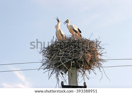 Family of two storks in the nest are built on electric poles. Stork looked up to the sky, and produces the characteristic snapping beak.