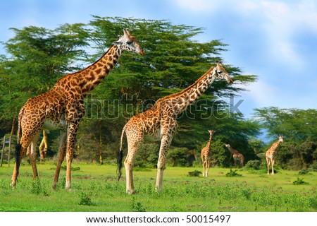 Family of wild giraffes on the lake Naivasha. Africa. Kenya - stock photo