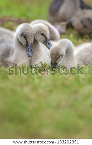 Family of young swans - stock photo