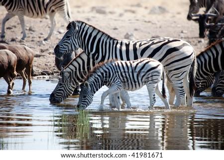 Family of Zebras drinking - stock photo