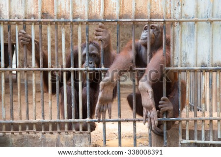 Family orangutans Indonesian species in cage, Thailand - stock photo
