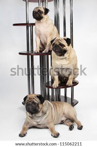 Family pedigree dog breed pug - stock photo